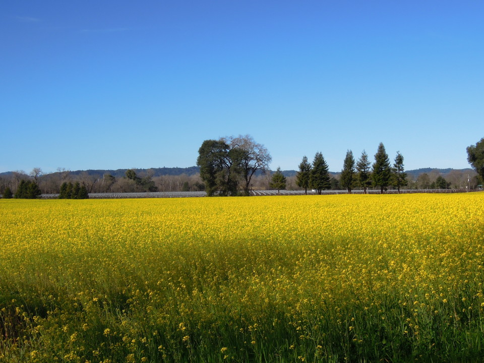 Wine Country -Mustard